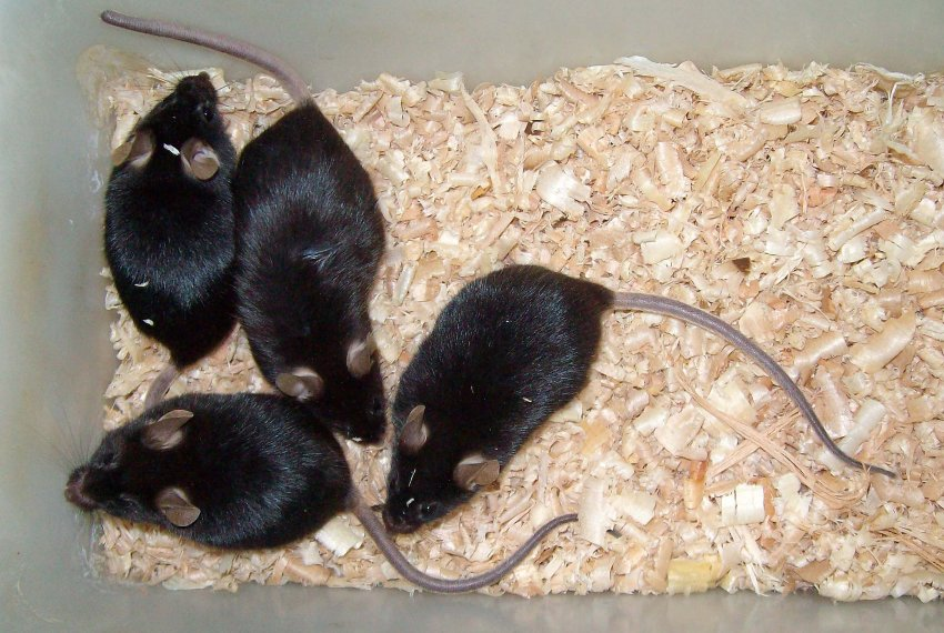 581 genetisch identieke muizen